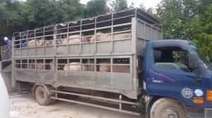 quy định vận chuyển gia súc vào tỉnh